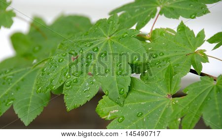 Maple Leaf Refreshed By Morning Rain