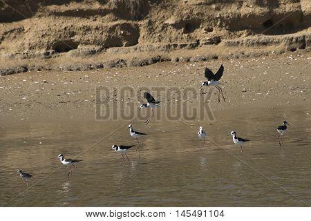 Black necked Stilts flying on the lagoon