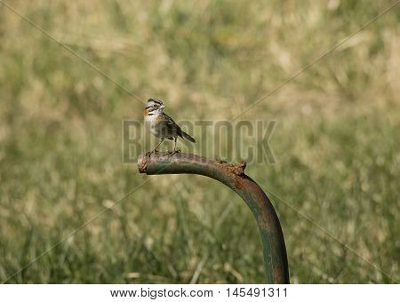 rufous-collared sparrow perched on a metal tube