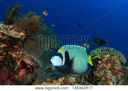 Tropical fish on coral reef. Emperor Angelfish (Pomacanthus imperator). Komodo National Park, Indonesia