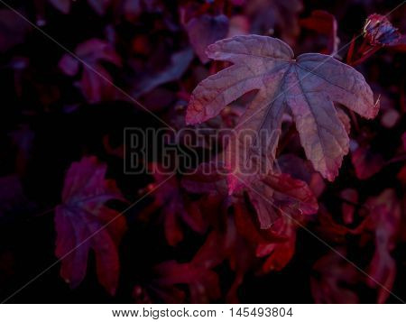 Close-up image of red five leaf lobes Low key