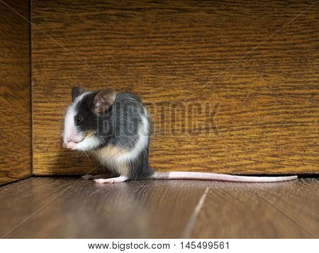 Gray fluffy white mouse sitting on the floor in the room. Pink legs big ears and whiskers. A long tail. Funny animals