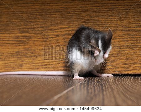 Gray fluffy white mouse sitting on the floor in the room. Closes muzzle paws. Funny rodent
