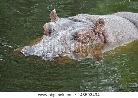 Hippopotamus in the water in the wild