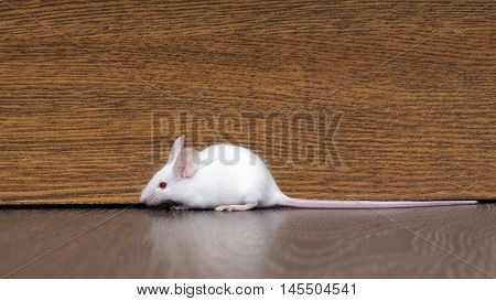 White mouse with red eyes sitting on the floor. Very long pink tail rodent