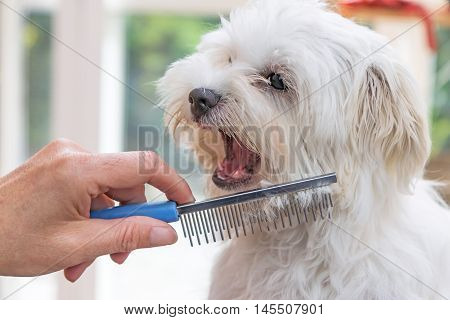 Closeup view of combing beards of the white Maltese dog. The dog is with his mouth open looking at the groomer