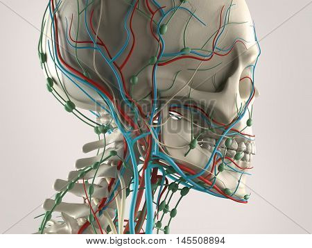 Human anatomy view of head with skeleton and vascular system, jaw. 3d illustration