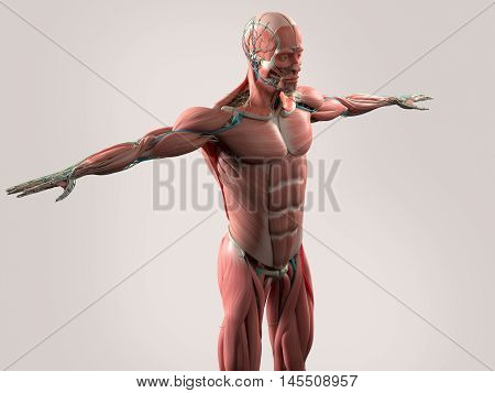 Human anatomy showing face, head, shoulders and torso muscular system, bone structure and vascular system. 3d illustration
