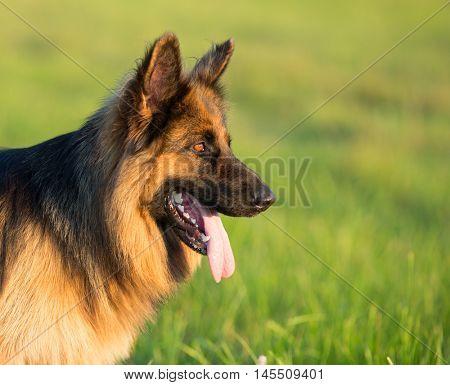 German shepherd dog long-haired outdoor portrait