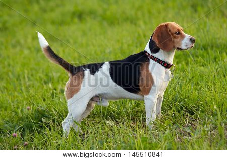 Image of the English Beagle on the meadow