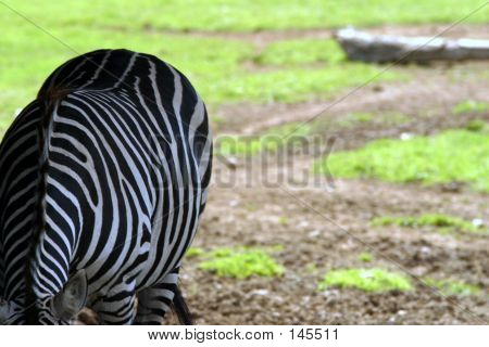 Side View Of A Zebra