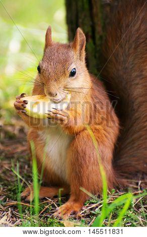 Red squirrel eating apple in the park. Sciurus vulgaris.
