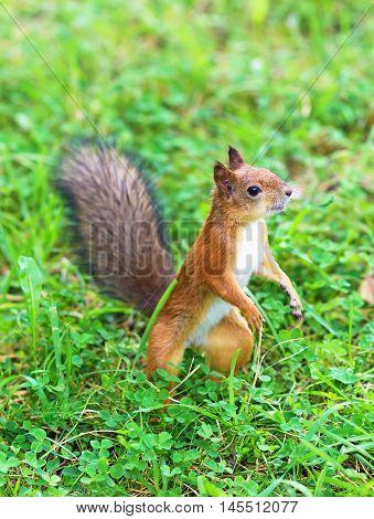 Curious Red Squirrel In The Forest. Sciurus Vulgaris.