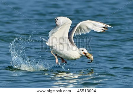 White gull with fish in its beak on the sea