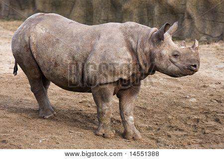 Black Rhinoceros Baby