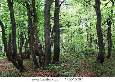 Twisted trunks of beech trees - old beech forest Czech republic