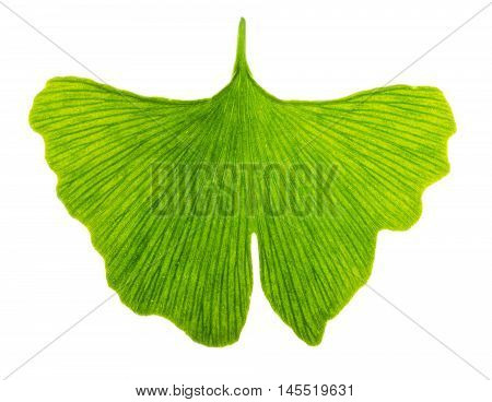 Ginkgo biloba leaf in transmitted light. Light passes through a translucent Ginkgo leaf. Also maidenhair tree, in the division Ginkgophyta. Used in medicine. Isolated macro photo close up from above.