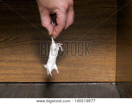Man's hand pulls a live white mouse out of the closet.