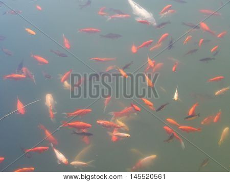 Fish swim in the water tank flock