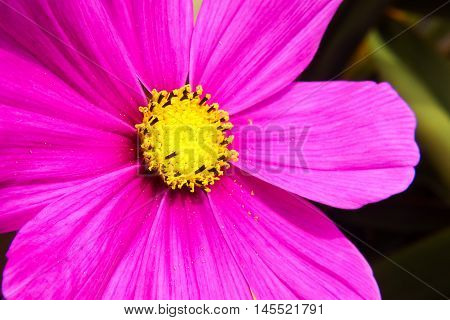 Macro of a purple daisy gerbera flower. Gerbera L. is a genus of ornamental plants from the sunflower family (Asteraceae). It has approximately 30 species in the wild extending to South America Africa and tropical Asia. Gerbera is very popular and widely