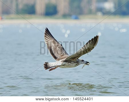 Common gull with fish in its beak flying over the sea
