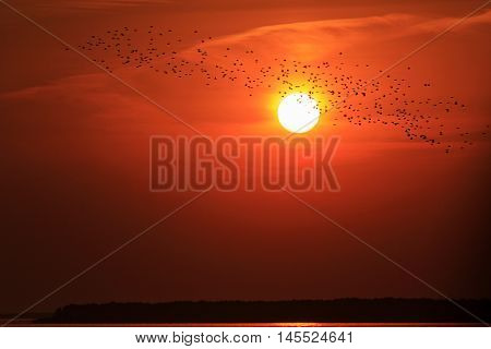 starlings flying on a background of red sunset, migration, flock of birds silhouettes, beautiful colors