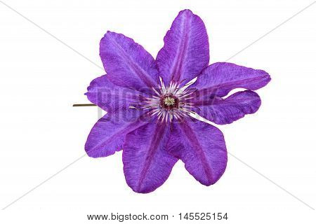 Purple Flower of Clematis isolated on White