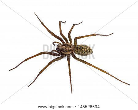 Black House Spider Isolated On White