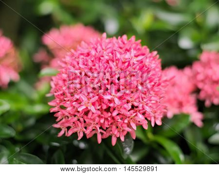 Pink Ixora coccinea or West Indian Jasmine with leaves