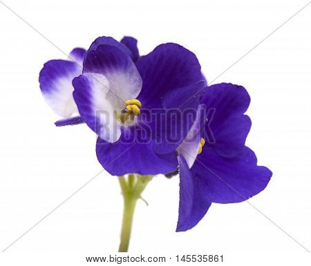 dark blue and white african violet isolated on white background
