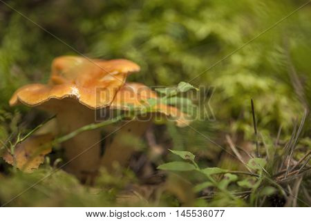 autumnal foraging background with mushrooms, open aperture