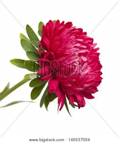 Dark Pink Annual Aster