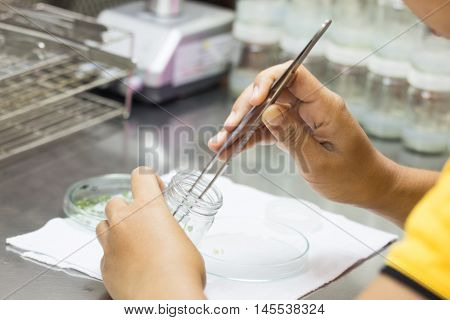 biotechnology scientist using the forceps in plant tissue culture laboratory