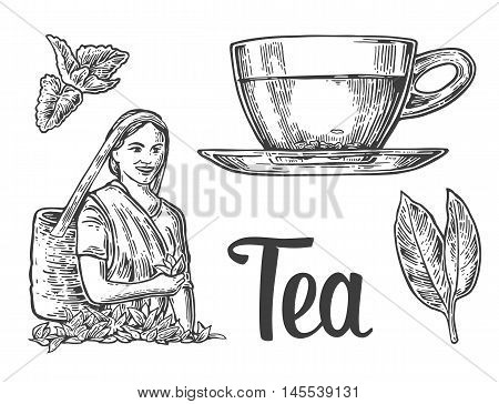 Tea picker woman leaves cup. Vector engraved vintage illustration for label poster web. Isolated on white background.
