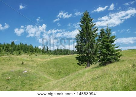 fir trees in a meadow of the Durmitor National Park, Montenegro