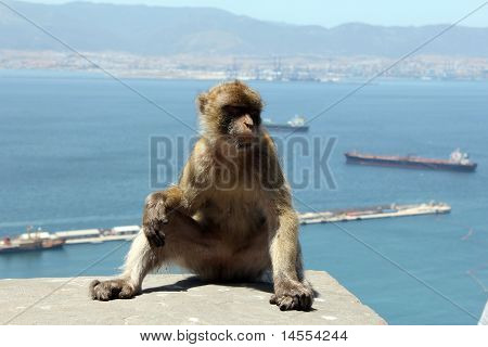 Sitting Ape