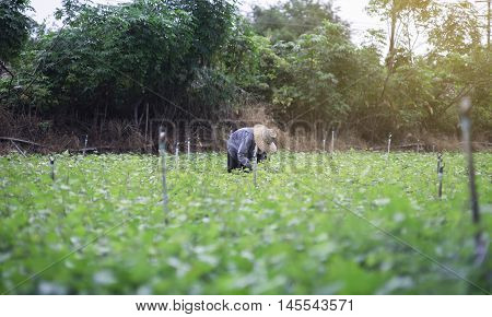 Thai Local Farmer Harvesting A Sweet Potato(yams) In A Field,filtered Image,selective Focus,light Ef