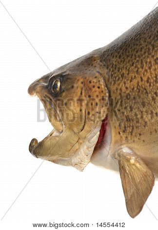 Closeup Of Brown Trout Head