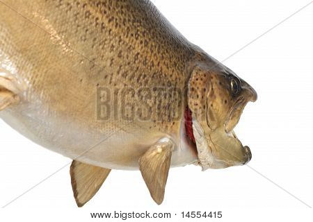 Brown Trout Body And Head