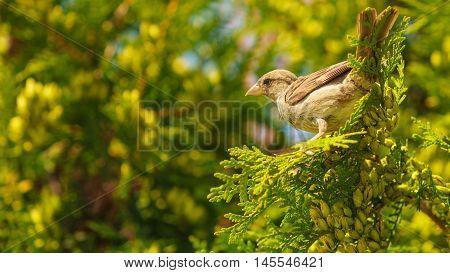 Little Bird On Green Thuja.