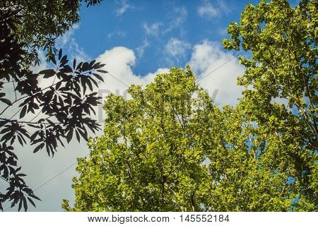Tree branches with green leaves on natural beautiful summer blue sky and white clouds backdrop