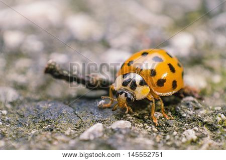 macro, closeup, animal, nature, coccinella, isolated, garden, close, beetle,
