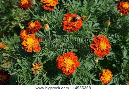 French marigold orange and yellow flowers with bumblebee.