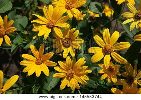 Cutleaf coneflower (rudbeckia) yellow young flowers on a sunny day.