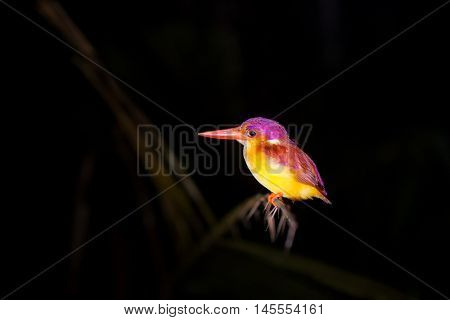 Colorful Kingfisher bird, Black-backed Kingfisher (Ceyx erithacus) perching on a branch at night