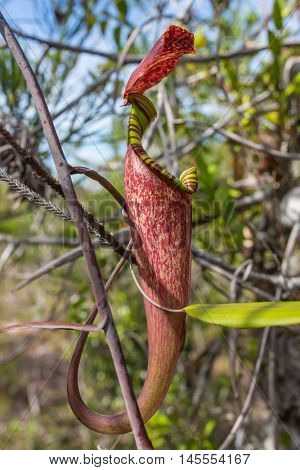 Pitcher plant, nepenthes, monkeys cup - exotic flower of Borneo