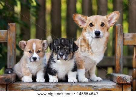 welsh corgi pembroke dog with two puppies