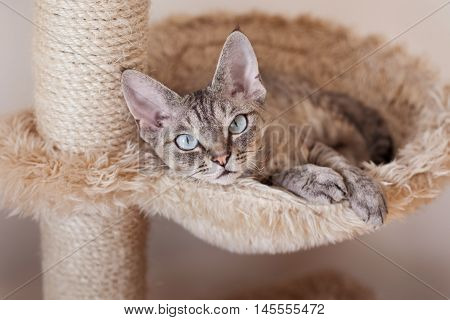 poster of Adorable beautiful Devon Rex cat is chilling on the scratching post. Cat is laying on the hammock. Cat is feeling comfortable and safe being at home. Home pets. Cat Supplies and Equipment