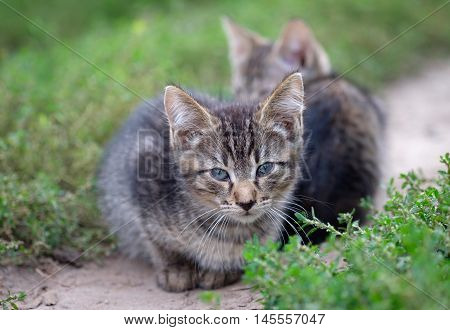 Two gray stray kitten sitting on the footpath in the grass