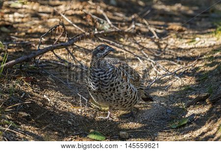 autumn grouse on a forest path forest closeup